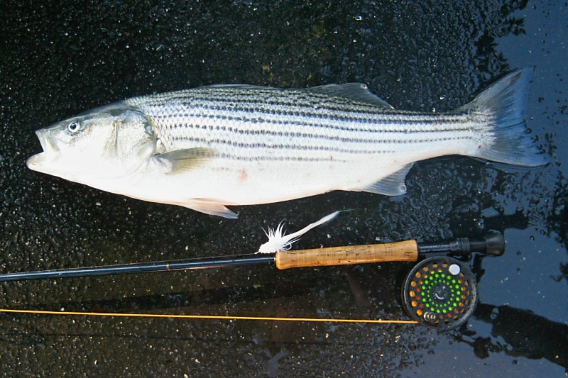 Nj fishing information for Fishing for stripers